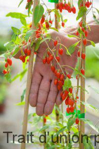 Il faut 3 ans pour obtenir la 1ère récolte de ces petits fruits rouges