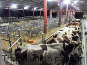 Une fois bloquées dans les couloirs, les vaches sont très calmes