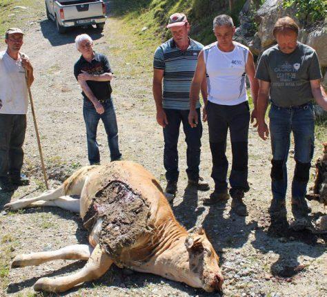 La génisse de Jean-François Delvallez (t-shirt blanc, à droite) a succombé à ses blessures.