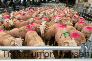 Les agnelles, portant les couleurs de leurs acheteurs, attendent de partir dans leurs futurs élevages.