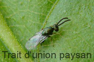 Le torymus est une des solutions naturelles les plus prometteuses pour lutter contre le cynips.